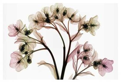 Hellebore 2 by Steven N. Meyers art print