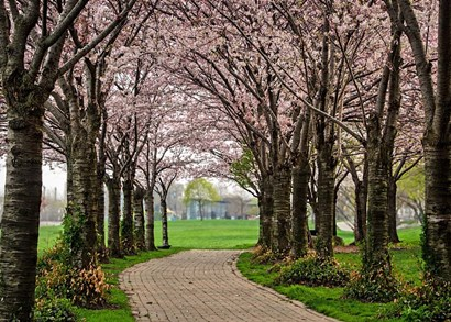 Cherry Blossom Path by Chuck Burdick art print