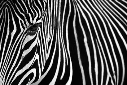 Zebra in Lisbon Zoo by Andy Mumford art print