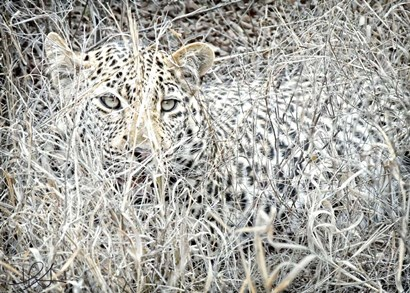 Leopard by Helene Sobol art print