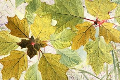 Golden Oak by Judy Stalus art print