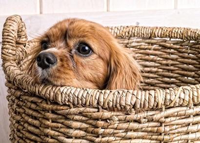 Puppy in a Laundry Basket by Edward M. Fielding art print