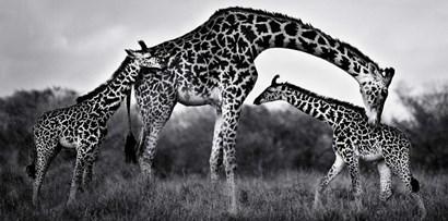 Giraffe Family by Xavier Ortega art print