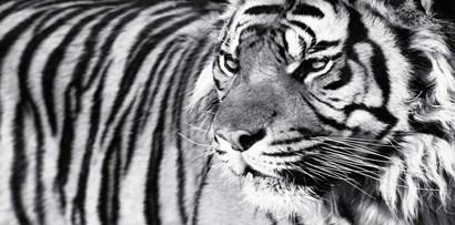 Tiger Eyes by Xavier Ortega art print