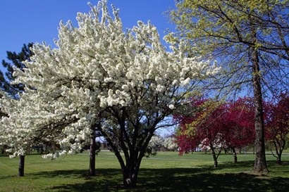 Pin Cherry Tree Blooming, New York by Panoramic Images art print