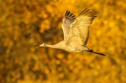 Sandhill Crane Flying by Jaynes Gallery / Danita Delimont art print