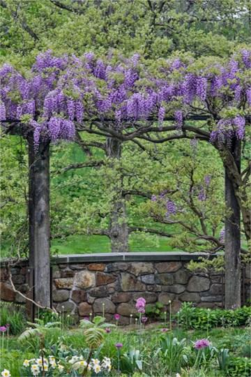 Wisteria In Full Bloom On Trellis Chanticleer Garden, Pennsylvania by Darrell Gulin / Danita Delimont art print
