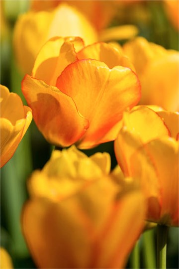 Tulip Garden, Longwood Gardens, Pennsylvania by Darrell Gulin / Danita Delimont art print