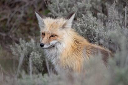 Red Fox Framed By Sage Brush In Lamar Valley, Wyoming by Jaynes Gallery / Danita Delimont art print