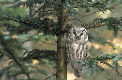 Owl In Tree by Panoramic Images art print