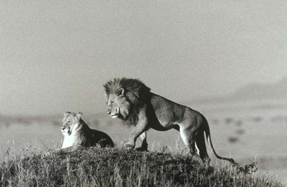 Lion And Lioness On A Hill by Panoramic Images art print