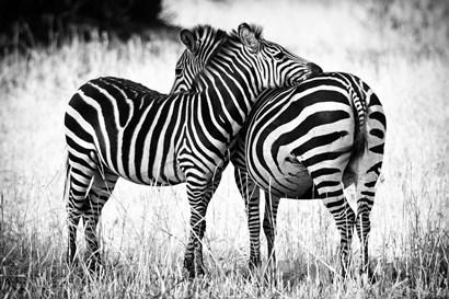 Zebra Love by Adam Romanowicz art print