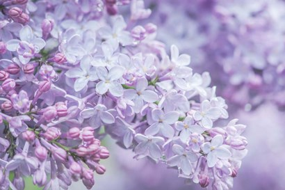 Lilac Close-Up by Rob Tilley / Danita Delimont art print