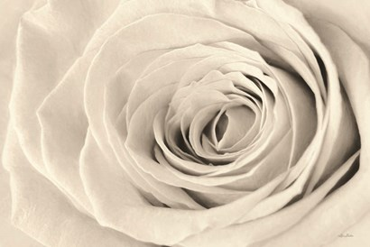 Cream Rose by Lori Deiter art print