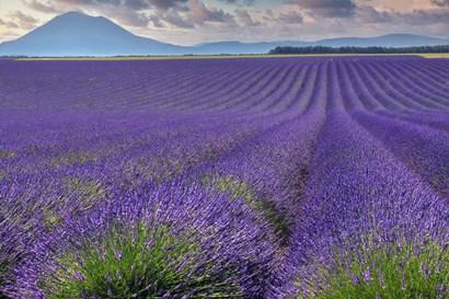 Lavender Fields Provence by Cora Niele art print