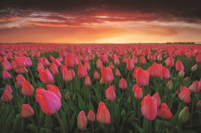 Tulip Field Sunset by Martin Podt art print