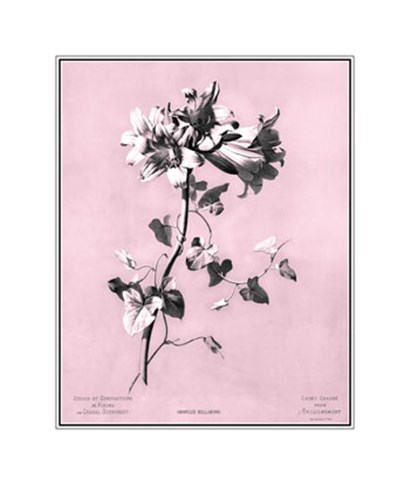 Amaryllis on Pink by Dussurgey art print