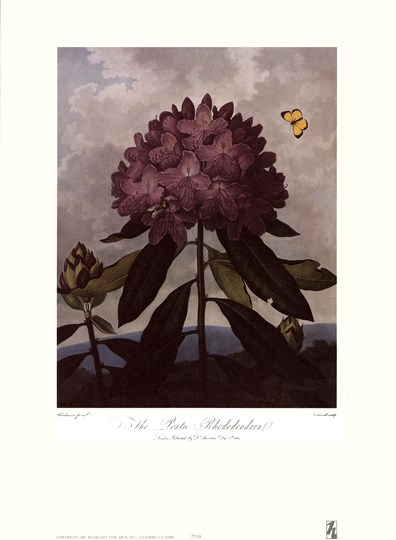 The Pontic Rhododendron by Robert John Thornton MD. art print