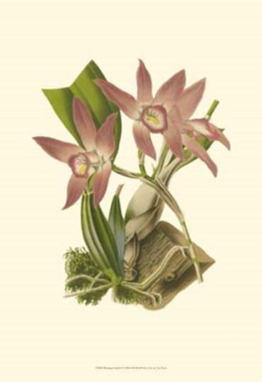 Blushing Orchids I by Francois Van Houtte art print