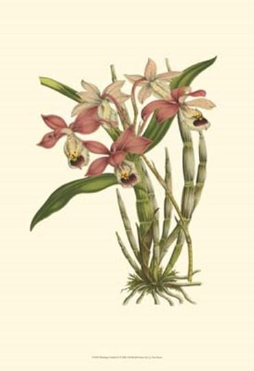 Blushing Orchids II by Francois Van Houtte art print