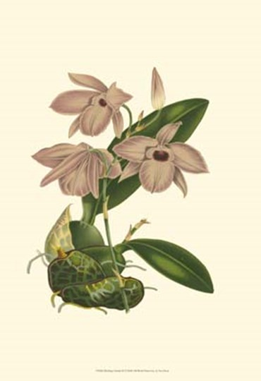Blushing Orchids III by Francois Van Houtte art print
