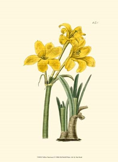 Yellow Narcissus I by Francois Van Houtte art print