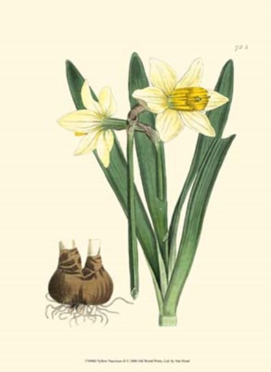 Yellow Narcissus II by Francois Van Houtte art print