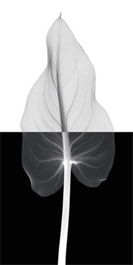 Calla Leaf II by Steven N. Meyers art print