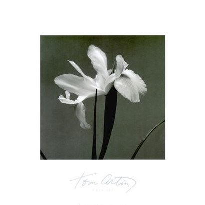 Iris III by Tom Artin art print