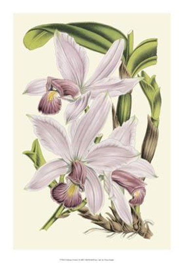 Delicate Orchid I by Vision Studio art print