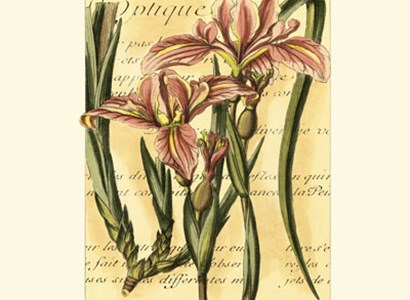 French Iris by Samuel Curtis art print