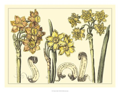 Narcissus in Bloom I by Claude Langlois art print