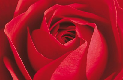 L'Important c'est la Rose by Photography Collection art print