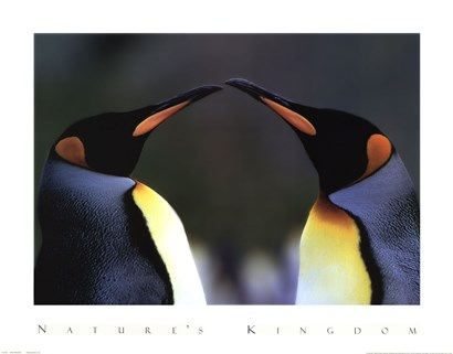 King Penguins by Daniel J. Cox art print