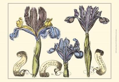 Small Iris in Bloom II (P) by Claude Langlois art print