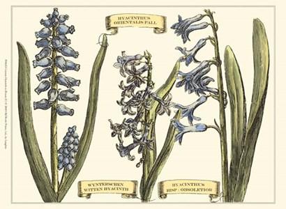 Custom Hyacinth in Bloom (U) by Claude Langlois art print