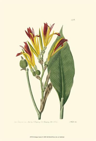 Antique Canna I by Francois Van Houtte art print