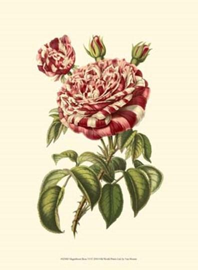 Magnificent Rose VI by Francois Van Houtte art print