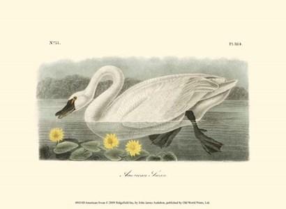 American Swan by John James Audubon art print