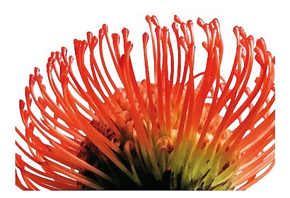 Orange Protea 2 by Jenny Kraft art print