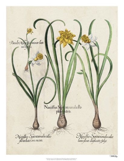 Besler Narcissus I by Basilius Besler art print
