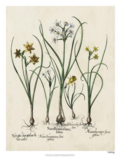 Besler Narcissus II by Basilius Besler art print