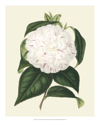 Antique Camellia I by Francois Van Houtte art print