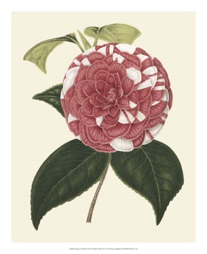 Antique Camellia II by Francois Van Houtte art print