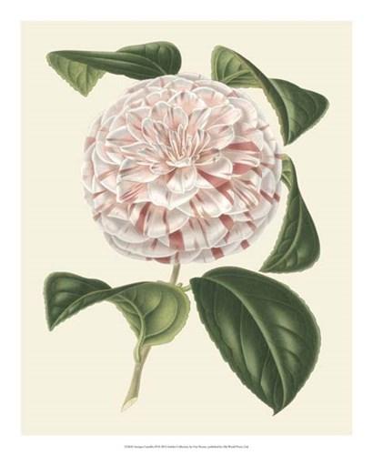 Antique Camellia III by Francois Van Houtte art print