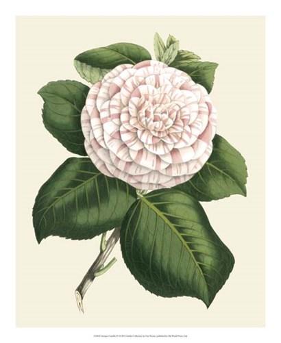 Antique Camellia IV by Francois Van Houtte art print