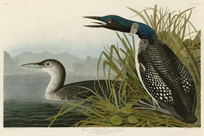 Great Northern Diver or Loon by John James Audubon art print