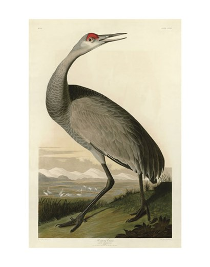 Hooping Crane by John James Audubon art print