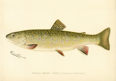 Female Brook Trout by Print Collection art print