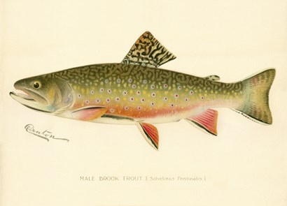 Male Brook Trout by Print Collection art print